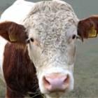 Kalbfleisch ist besonders zart.