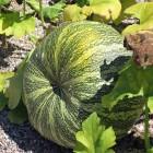 Grün-weißer Feigenblattkürbis