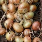 Lagern Sie Zwiebeln möglichst luftig und trocken
