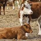 Herefor-Rinder Landwert Hof