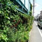 Brombeeren an einer Hauswand in Tokyo