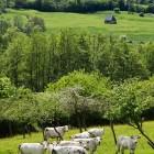 Milchkühe-in-Pays-d-Auge-kulinarische-Reise-Normandie