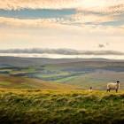 Schafe auf einer Wiese in Nordengland