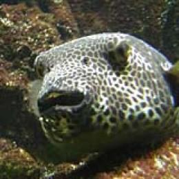 Japanische Spezialität: Fugu