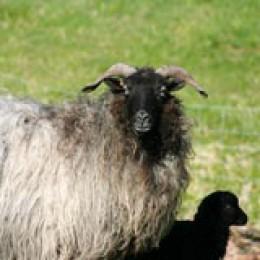 Heidschnucke mit Lamm