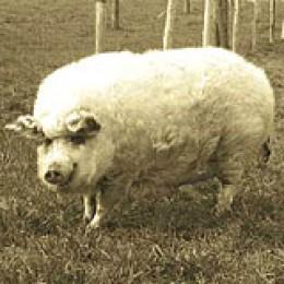 Ein Wollschwein auf der Weide.
