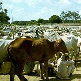 Viehmarkt in Pakistan