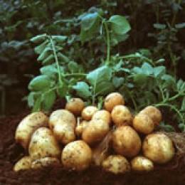 """Gen-Kartoffel """"Amflora""""."""