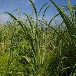 Zuckerrohrfeld in der Karibik