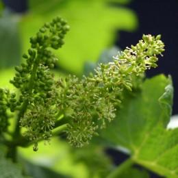 Blühende Weinreben