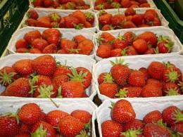 Erdbeeren, soweit das Auge reicht