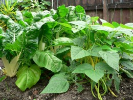 Buschbohnen-Pflanze