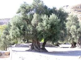 Ölbäume (Olivenbäume) können bis zu 1000 Jahre alt werden