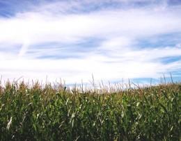 Mais - mehr als Tierfutter