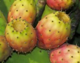 Kaktusfeigen am Baum