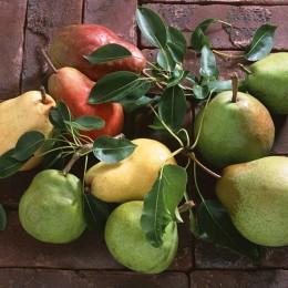 Birnen, frisch und saftig vom Baum