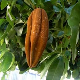 Besonders empfindlich: die Kakaopflanze