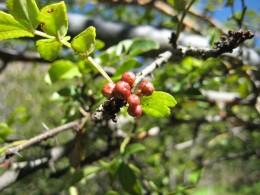 Sichuan Pfeffer wächst in den Wäldern der Provinz Sichuan