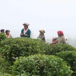 Teepflückerinnen im Teegarten Samabeong in Indien, GEPA-Handelspartner für hochwertigen Bio-Tee