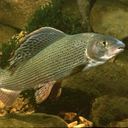 Fisch des Jahres 2011: die Äsche