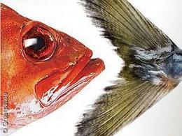 Der Greenpeace Fischratgeber wurde aktualisiert
