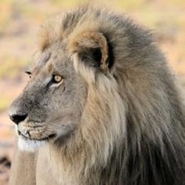 Exotischer Fleischgenuss: Löwe