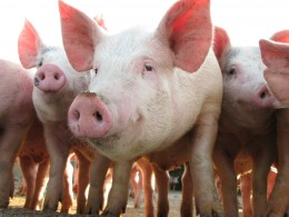 Schweine werden in Deutschland am meisten geschlachtet