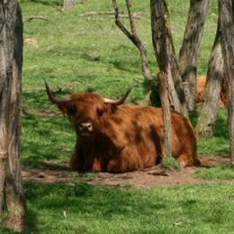 Sollen auch im Essbaren Tiergarten wohnen: Zottelrinder