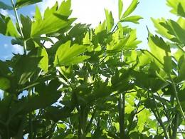 Liebstöckel wächst auch im heimischen Garten