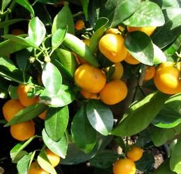 Farbenfrohe Zitrusfrüchte
