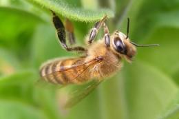 Das Bienensterben gefährdet auch die weltweite Ernährungssicherheit