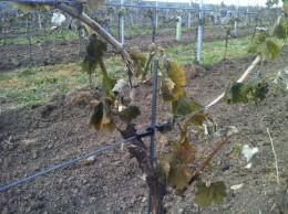 Viele Weinregionen wurden hart vom Frost getroffen