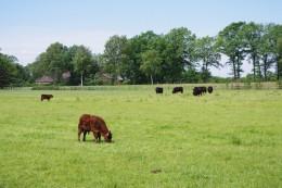 Galloway-Rinder brauchen wie hier in Wistedt viel Platz