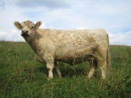 Galloways gibt es in unterschiedlichen Farbschlägen: Diese Kuh ist blond (dun)