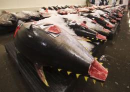 Begehrt & teuer: frischer Thunfisch