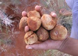 Seltene Delikatessen: Kalahari-Trüffel