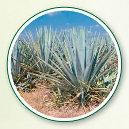 Agaven - von mexikanischem Klima verwöhnt.
