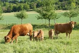 Limpurger Kühe mit Kälbern