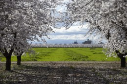 Mandelblüte Kalifornien Bäume
