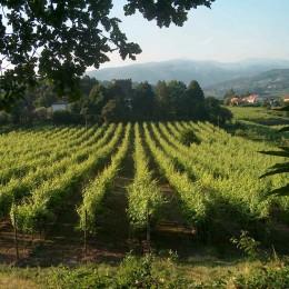Weinreben im Vinho Verde