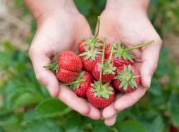 Erdbeeren in der Hand