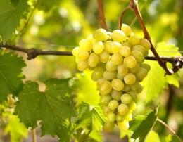 Der Federweiße wird aus hellen Trauben gewonnen