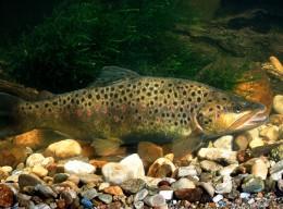 Die Bachforelle bevorzugt Fließgewässer