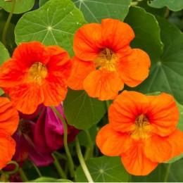 Essbare Blüten und Blätter: Kapuzinerkresse