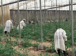 Erzeugung von Bio-Tomaten in Almeria