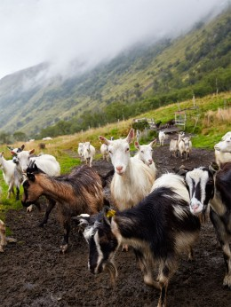 Norwegen-Lofoten-Ziegen-vom-Ziegenhof-Aalan-Gard-kulinarische-Reise
