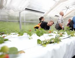 Im Gewächshaus wachsen Erdbeeren, die mit aufebreitetem Abwasser gewässert werden