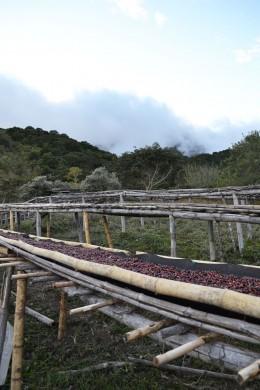 HYDROPHIL Kaffeekirschen bei der Trocknung au der Los Lajones Estate Farm