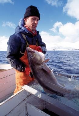 Skreifischer mit Skrei Winterkabeljau Norwegen