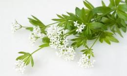 Waldmeisterstängel mit Blüte
